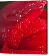 Water Drops On Tulip Canvas Print