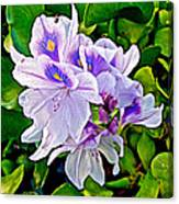 Water Hyacinth On Rapti River In Chitwan Np-nepal Canvas Print