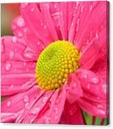 Water Kissed Pink Chrysanthemum 2 Canvas Print