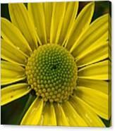 Water Kissed Yellow Chrysanthemum  Canvas Print