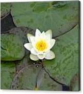 Water Lily - White Canvas Print