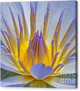 Water Lily 18 Canvas Print