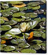 Water Lily And Bees Canvas Print