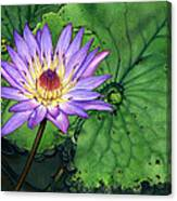 Water Lily At The Conservatory Of Flowers Canvas Print