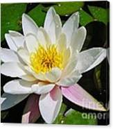 Water Lily Blossom Canvas Print