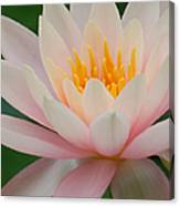 Water Lily II - Close Up Canvas Print