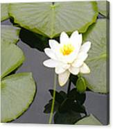 Water Lily I I Canvas Print