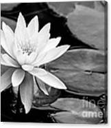Water Lily In The Lily Pond Canvas Print