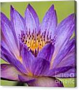 Water Lily Lindsey Woods Macro Canvas Print