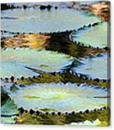 Water Lily Pads In The Morning Light Canvas Print