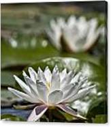 Water Lily Pictures 70 Canvas Print