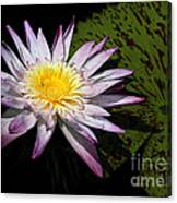Water Lily With Lots Of Petals Canvas Print