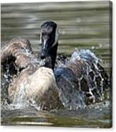 Water Logged - Canadian Goose Canvas Print