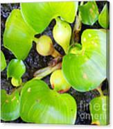 Water Plants 1 Canvas Print