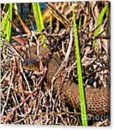 Water Snake In Hiding Canvas Print