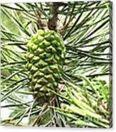 Watercolor Of Ripening Pine Cone Canvas Print