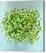 Watercress Canvas Print