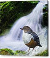Waterfall And Ouzel European Dipper Canvas Print