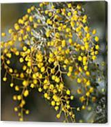 Wattle Flowers Canvas Print