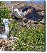 Waved Albatross  And Young Canvas Print