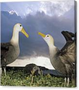 Waved Albatross Courtship Dance Canvas Print