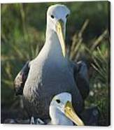 Waved Albatross Mate In Galapagos Canvas Print
