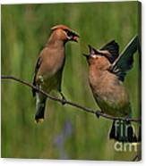 Waxwing Love.. Canvas Print