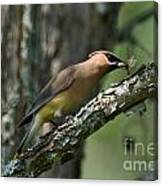 Waxwing Lunchtime Canvas Print