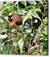 Waxwing Meal Canvas Print