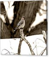 Waxwing Perched Canvas Print