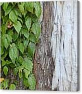Weathered Tree Trunk With Vines Canvas Print