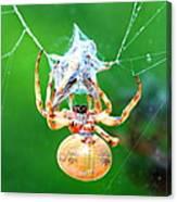 Weaving Orb Spider Canvas Print