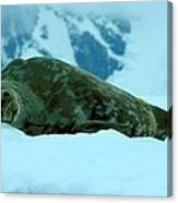 Weddell Seal Canvas Print