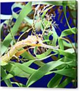 Weedy Sea Dragon Canvas Print