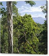 Weeping Fig And Host Natu Tree Sulawesi Canvas Print