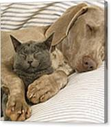 Weimaraner Asleep With Cat Canvas Print