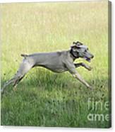 Weimaraner Dog Running Canvas Print