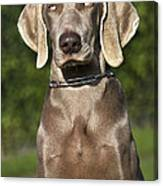 Weimaraner Hunting Dog Canvas Print