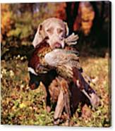 Weimaraner Hunting Dog Retrieving Ring Canvas Print