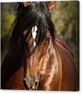 Welsh Cob Stallion Canvas Print