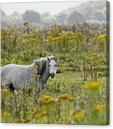 Welsh Pony Canvas Print