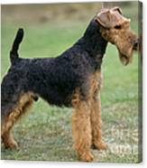 Welsh Terrier Dog Canvas Print