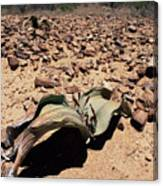 Welwitschia Mirabilis In Petrified Forest Canvas Print