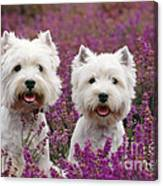 West Highland Terrier Dogs In Heather Canvas Print