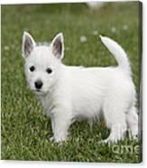 West Highland White Terrier Puppy Canvas Print
