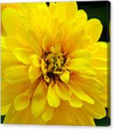 West Virginia Marigold Canvas Print
