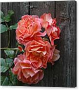 Westerland Rose Wood Fence Canvas Print