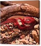 Western Coachwhip Red Phase Canvas Print