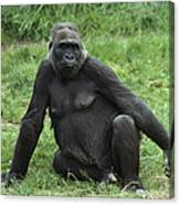 Western Lowland Gorilla Female Canvas Print