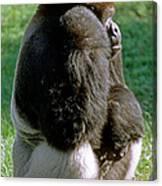 Western Lowland Gorilla Silverback Canvas Print